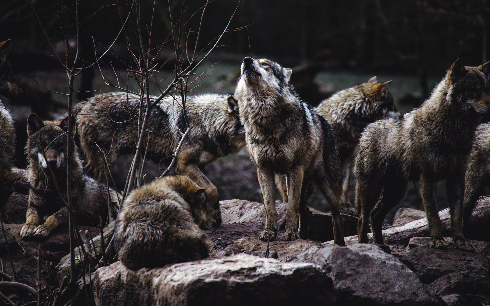 Селище на Прикарпатті тероризують голодні вовки (ВІДЕО)