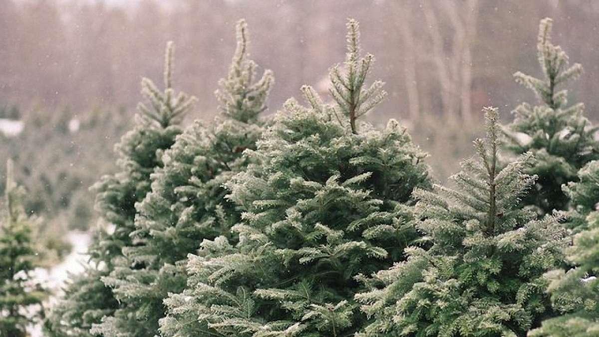 Держагентство лісових ресурсів назвало ціну на ялинку в цьому році